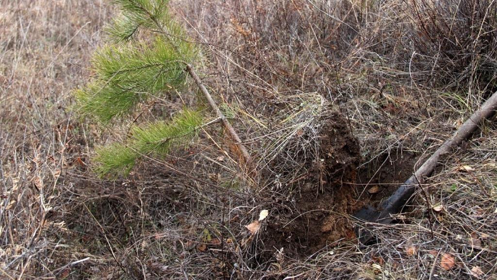 Выкапывание сосны из леса