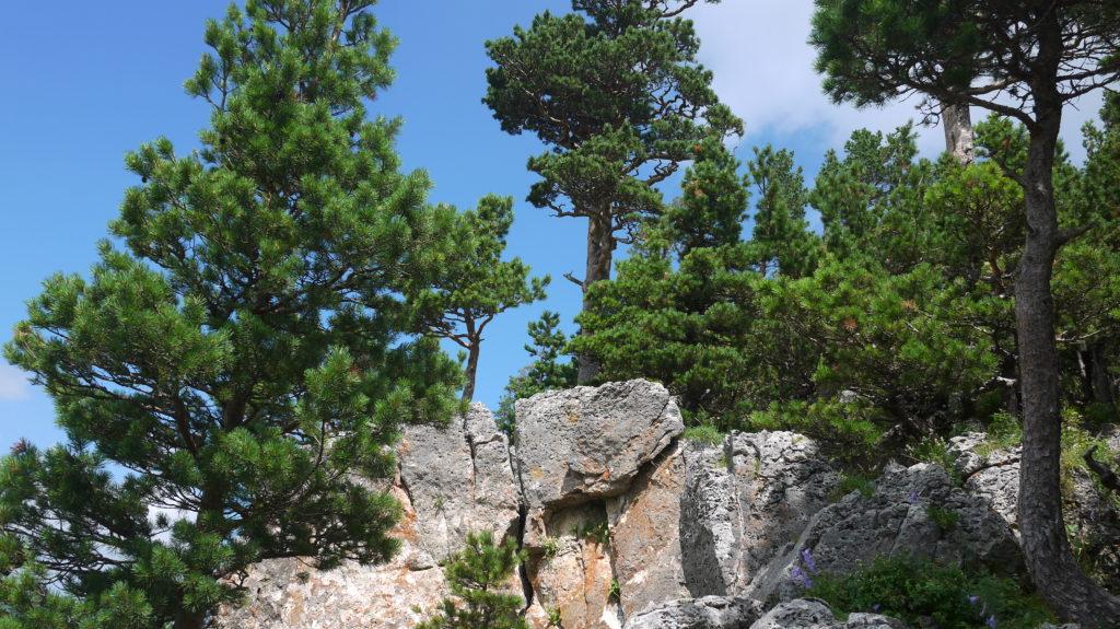 Горная сосна (Pinus mugo)