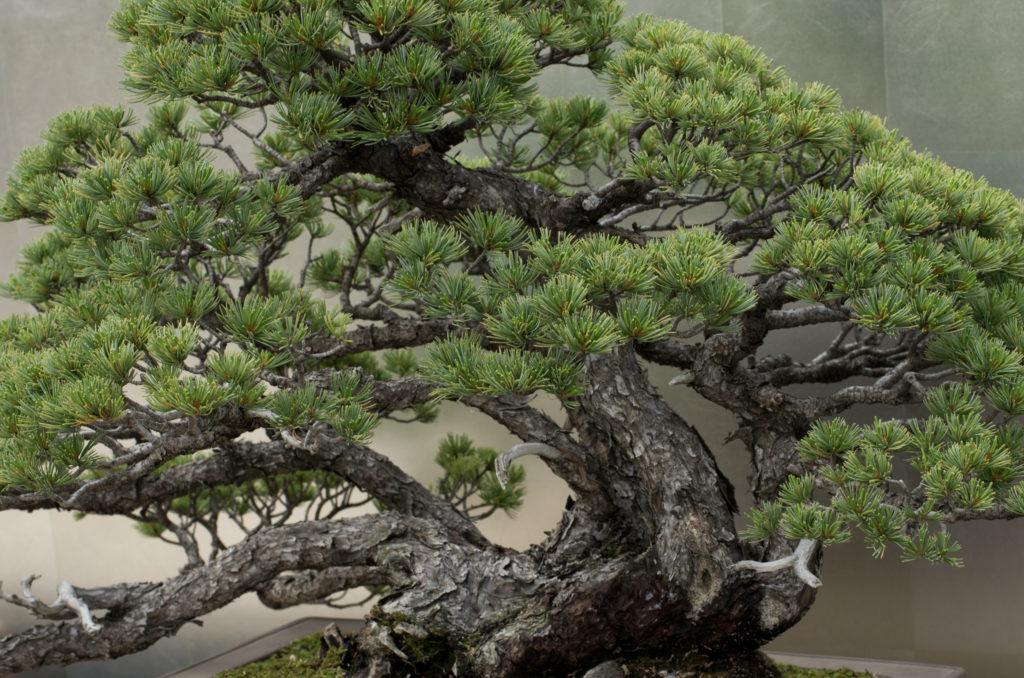 bonsai_1-1024x678 Как из японской белой сосны вырастить бонсай