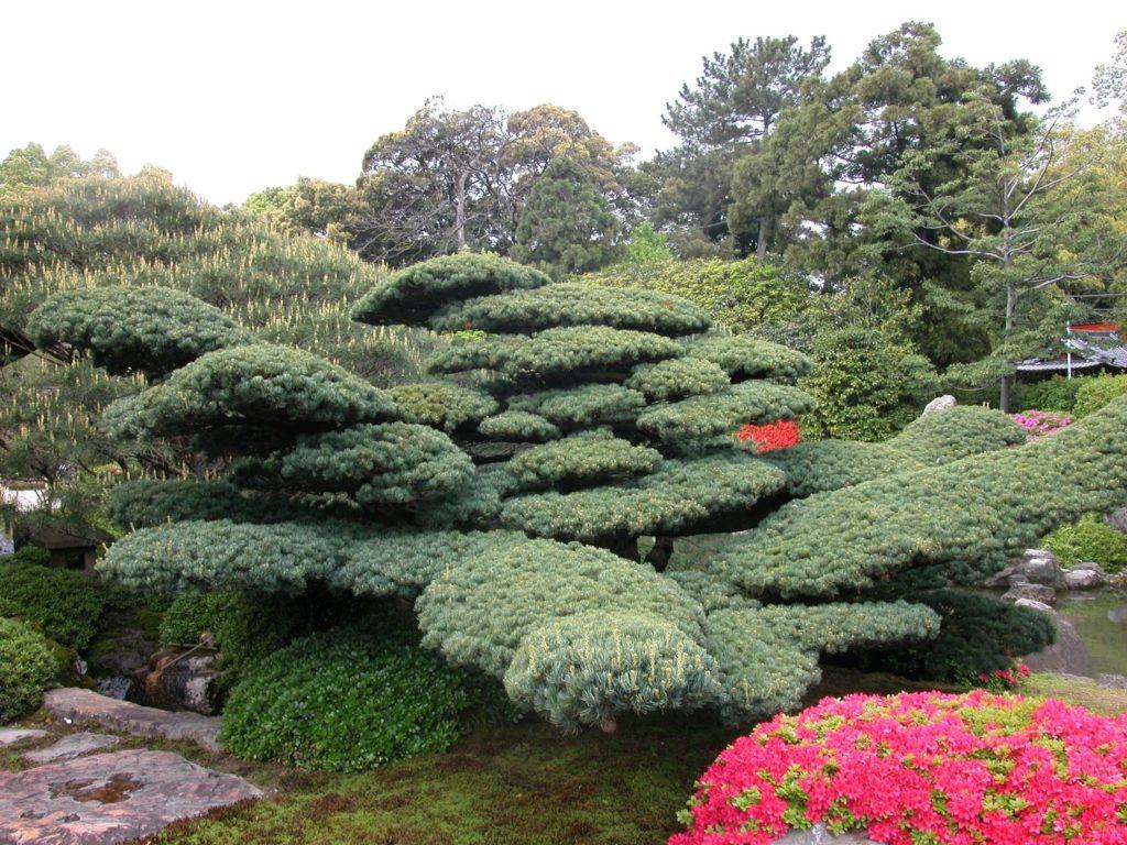 bonsai_4-1-1024x768 Как из японской белой сосны вырастить бонсай