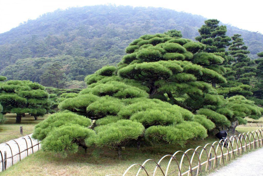 nivaki_1-1024x685 Как из японской белой сосны вырастить бонсай