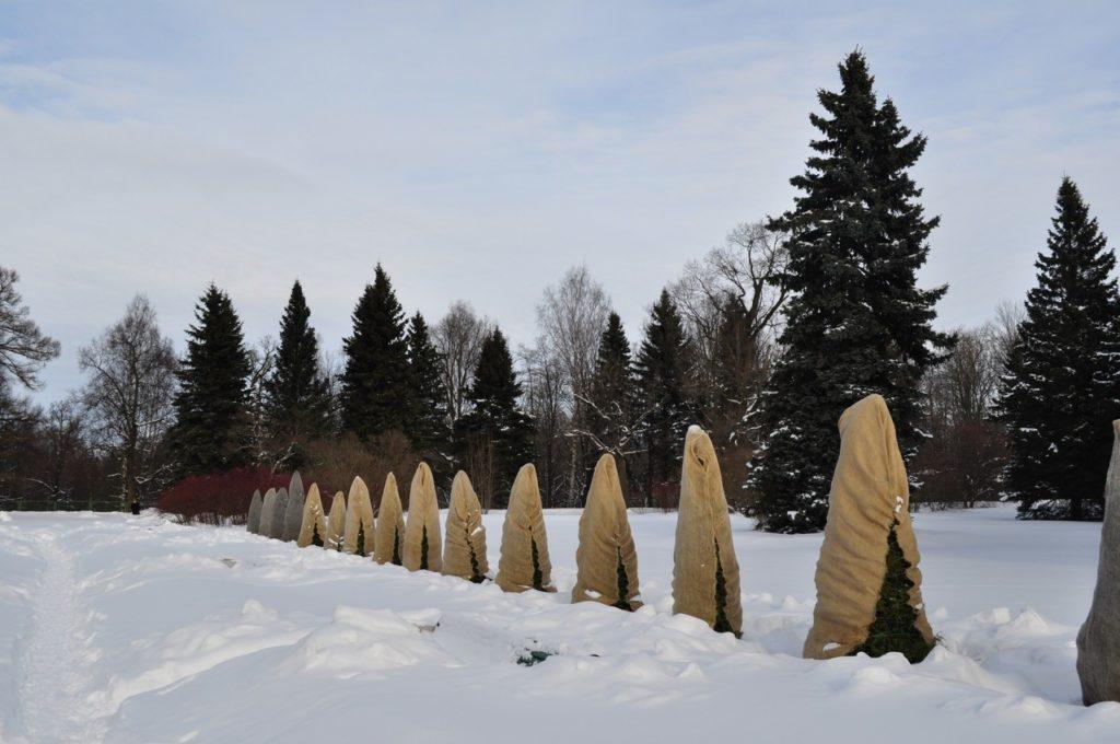 Укрытие сосен на зиму