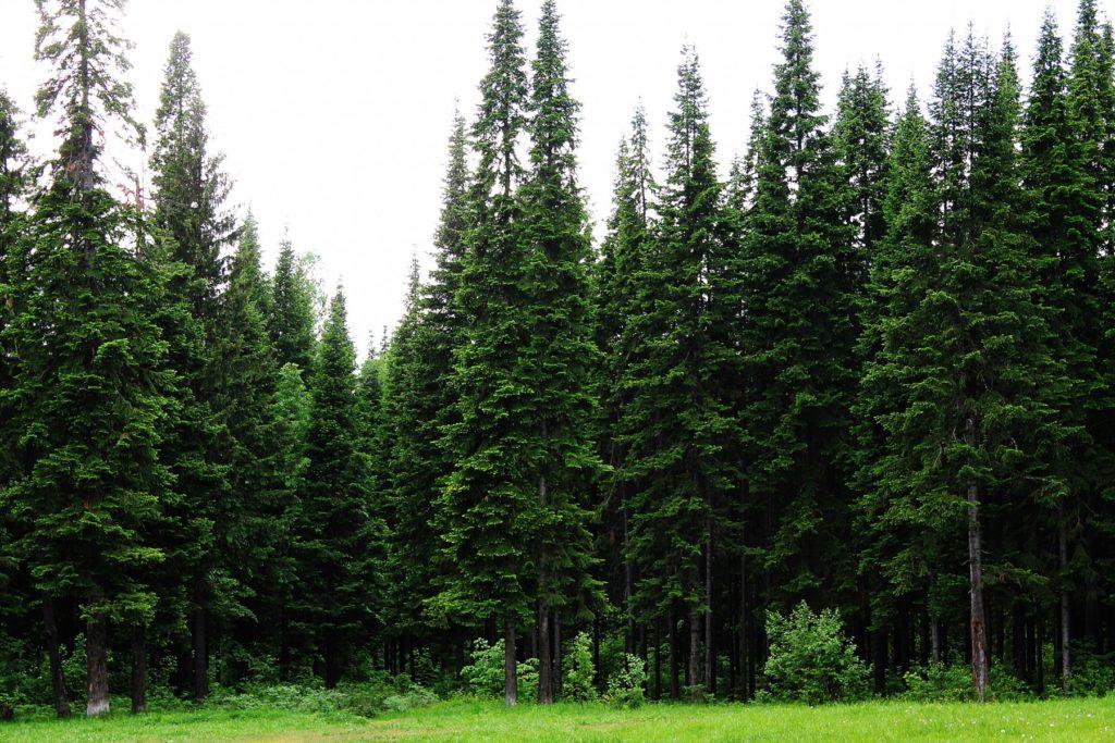 Пихтовые деревья