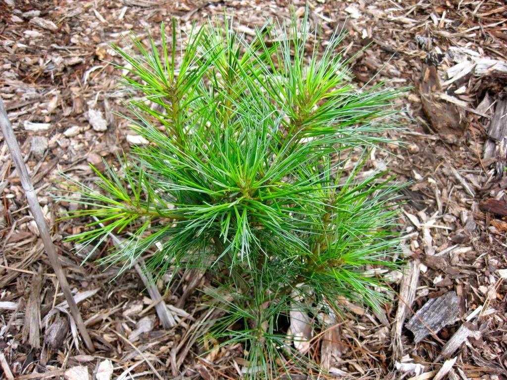 Саженец Pinus Strobus