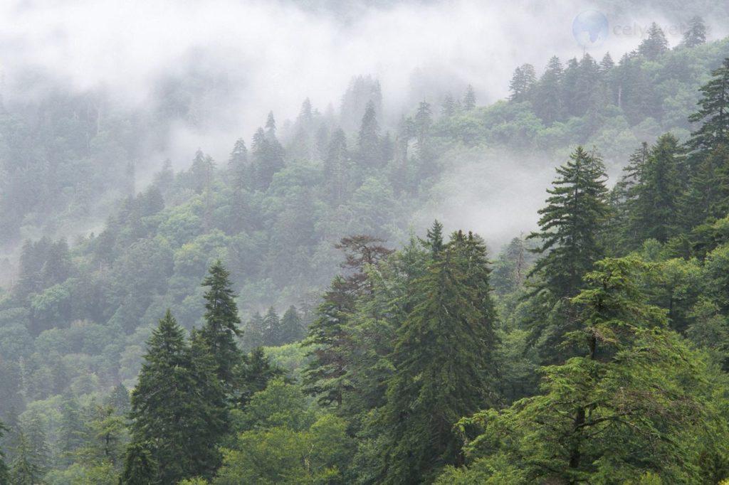 Пихтовый лес
