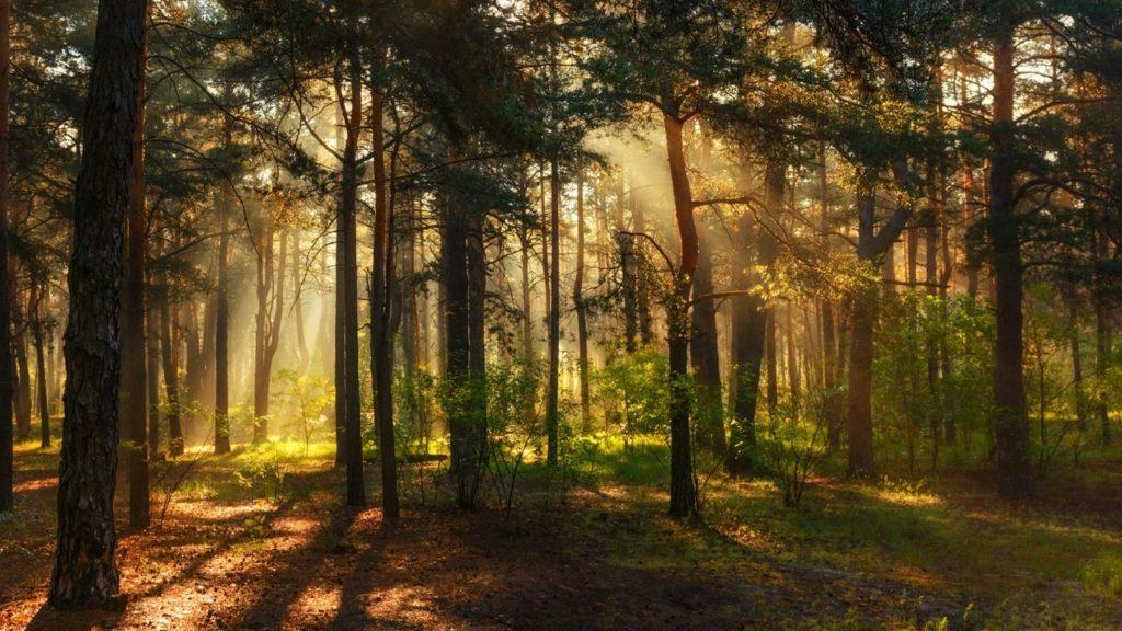 Сосна в лесу