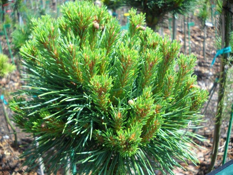 Pinus Sylvestris Kelpie