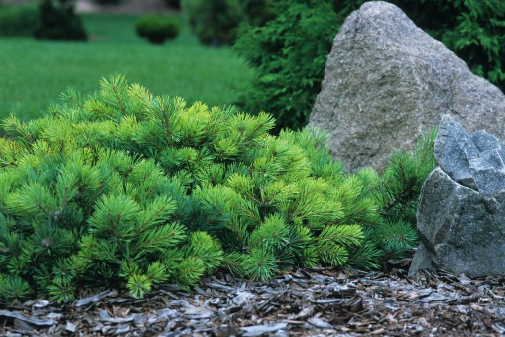 Pinus sylvestris Sport of Repens