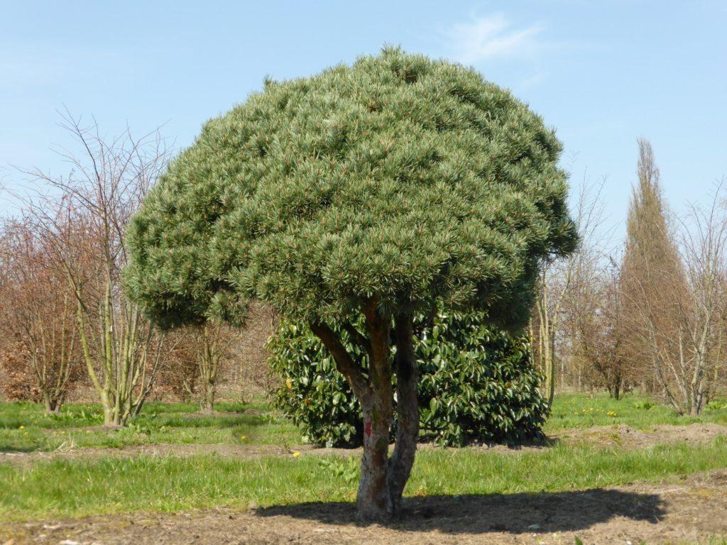 Дерево в форме зонта