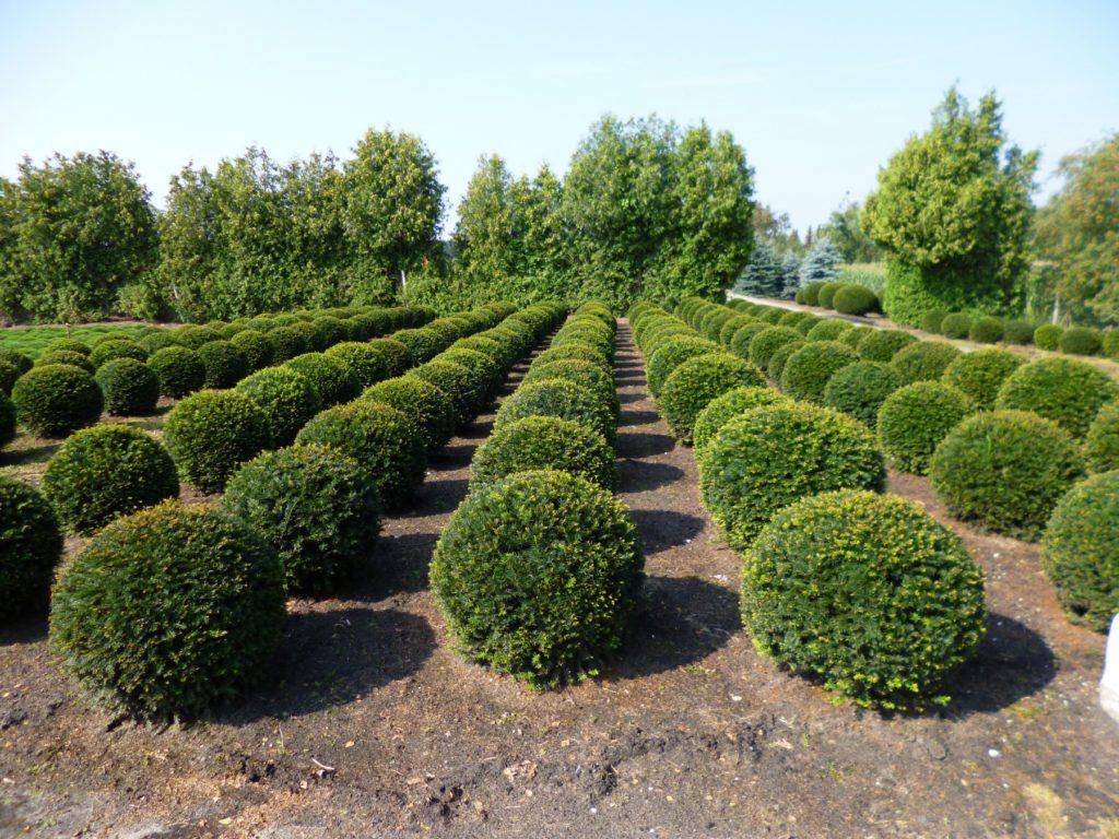 Тисовые деревья на участке