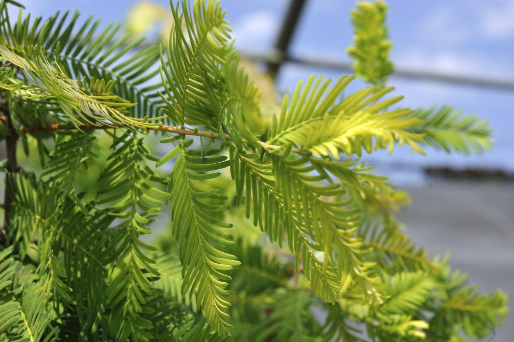 Ветви Метасеквойи глиптостробоидной