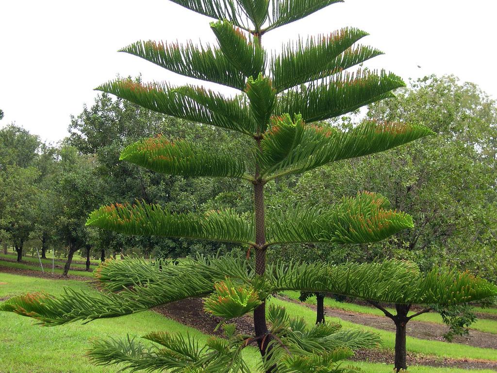 Взрослое дерево Араукария разнолистная