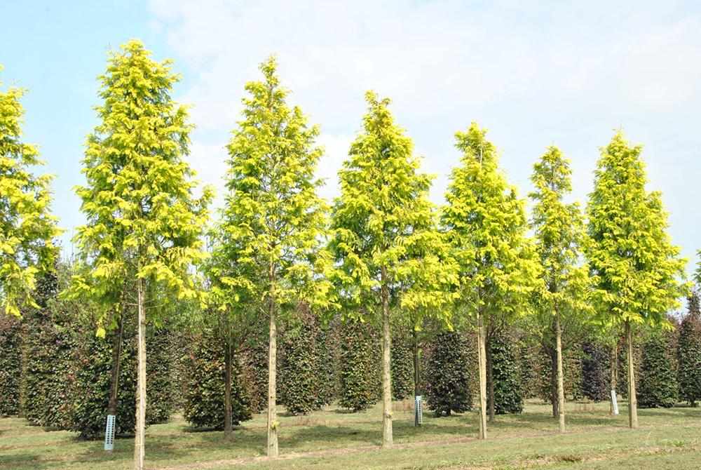 Деревья Метасеквойи глиптостробоидной