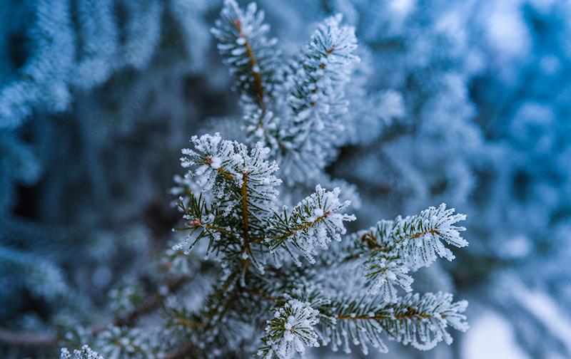 Хвоя пихты в снегу