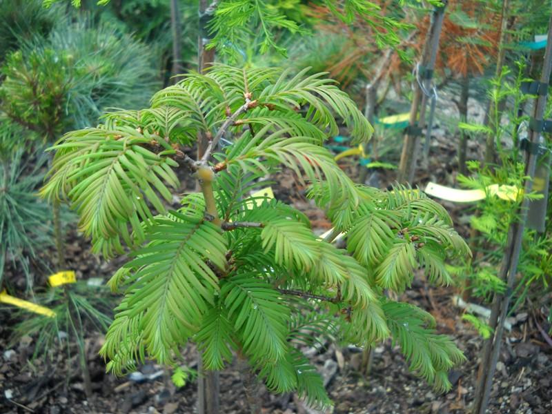 Молодое деревце Метасеквойи глиптостробоидной