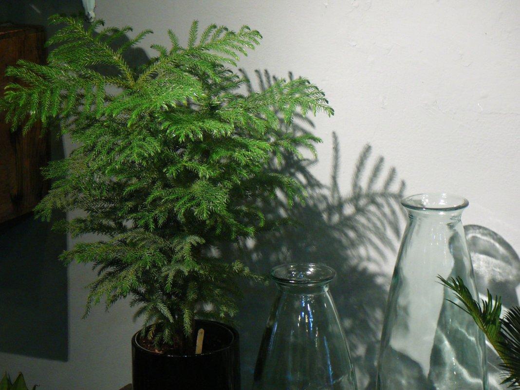 Араукария разнолистная в доме