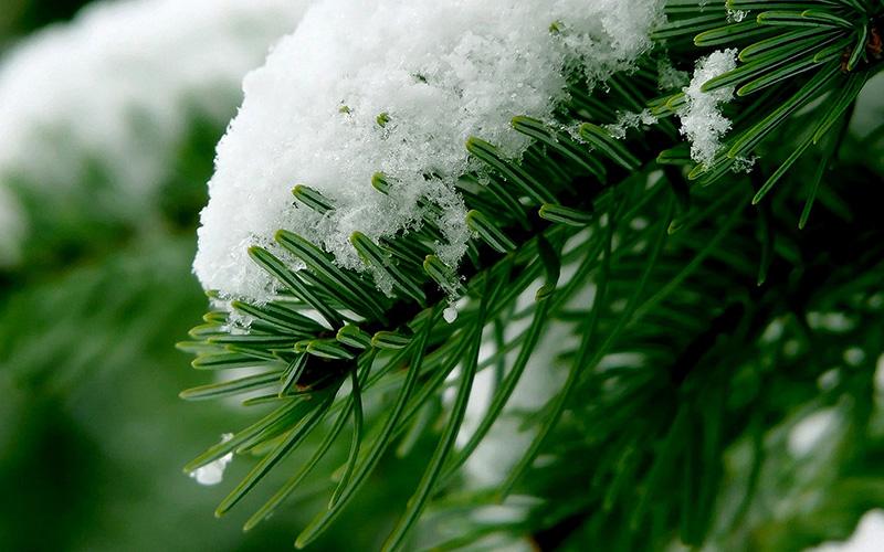 Веточки пихты в снегу