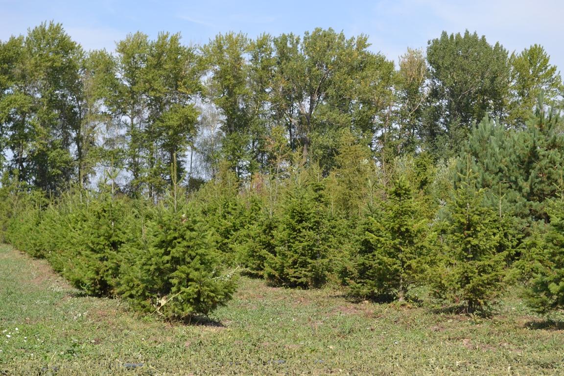 Молодые деревья сибирской пихты