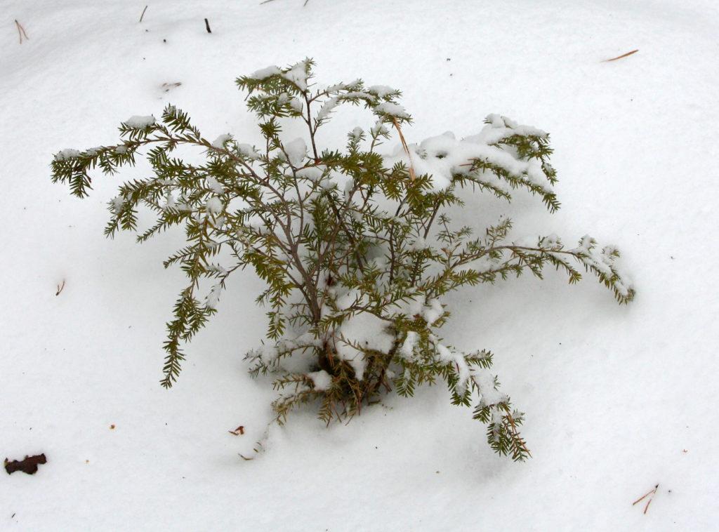 Канадская тсуга в снегу