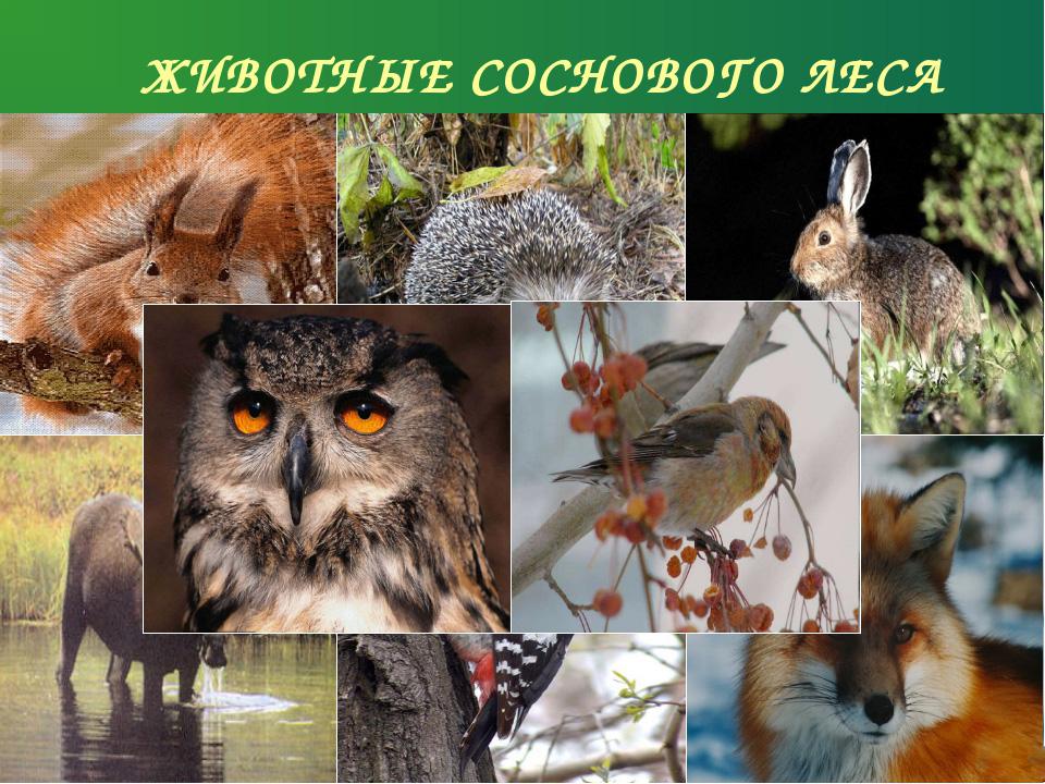 Животные и птицы соснового леса
