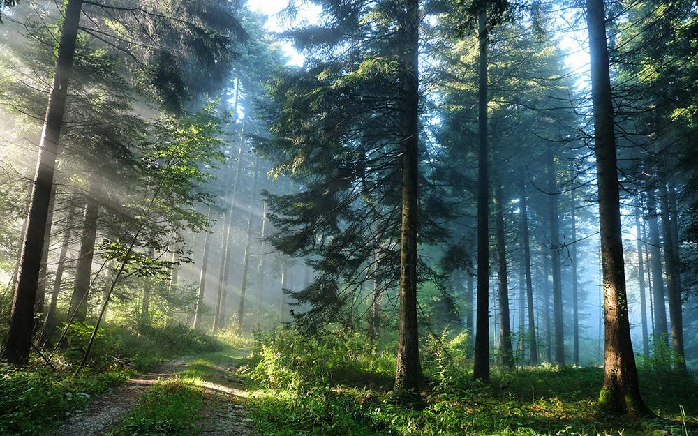 Сосновый лес в тумане