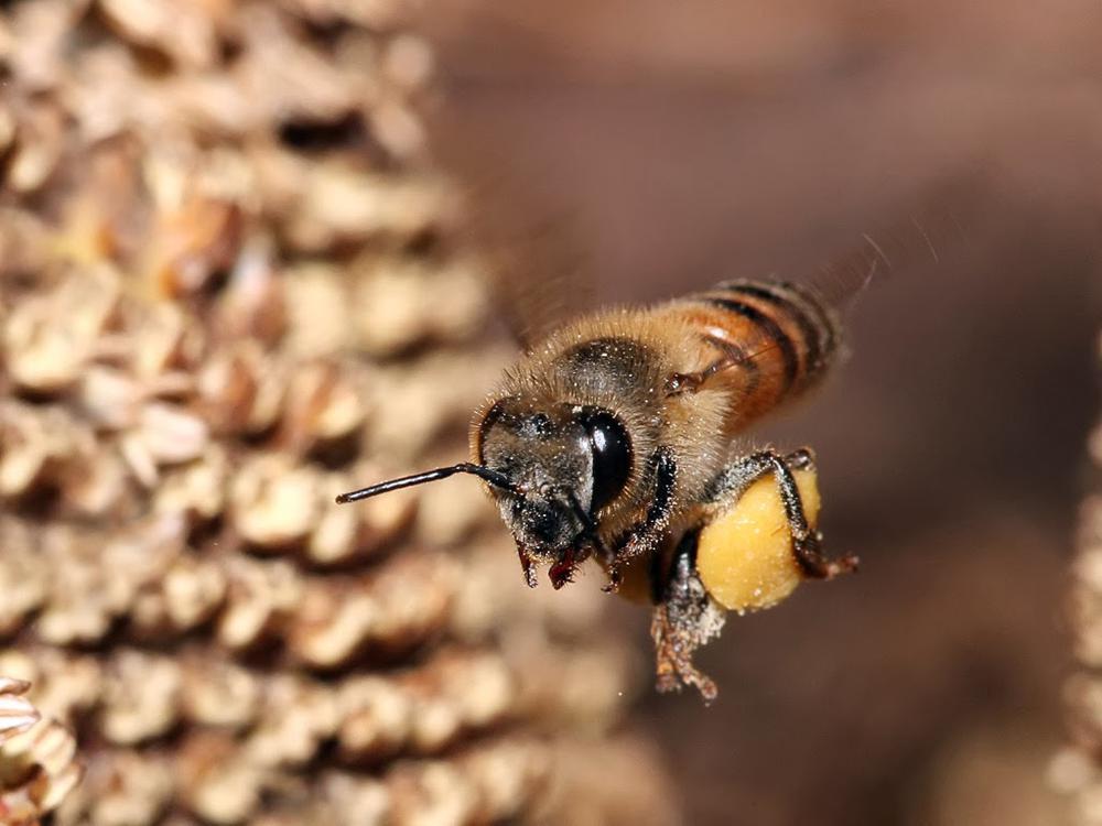 Пчела в воздухе