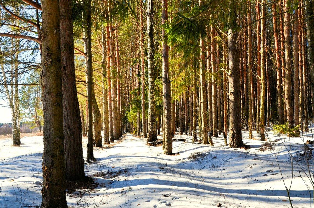Лес из сосен под снегом