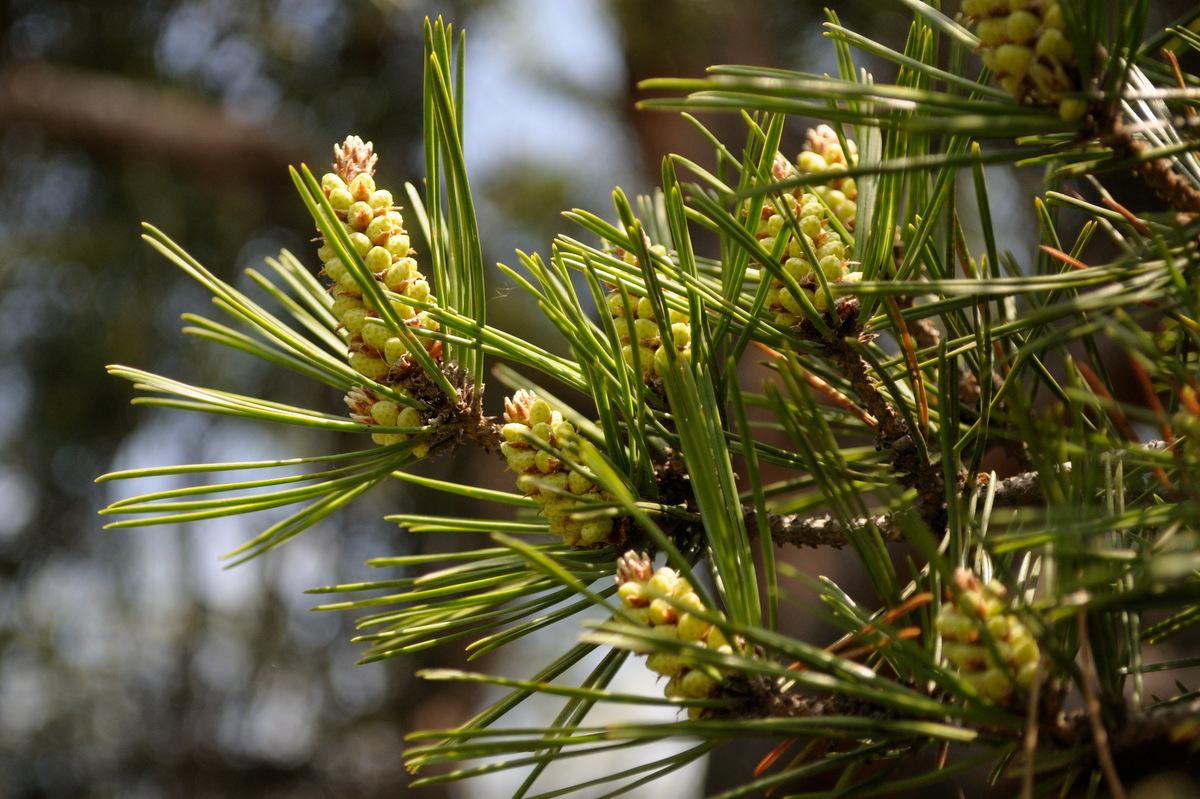 Хвоя Pinus densiflora