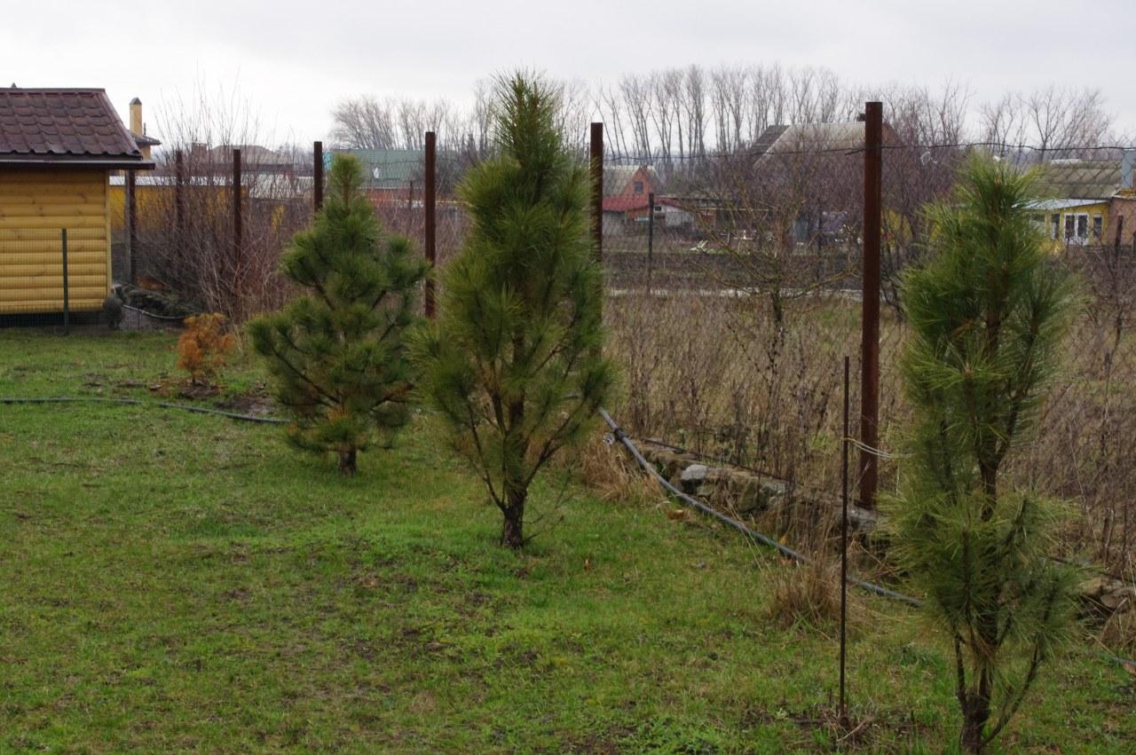 Pinus sylvestris Fastigiata на участке