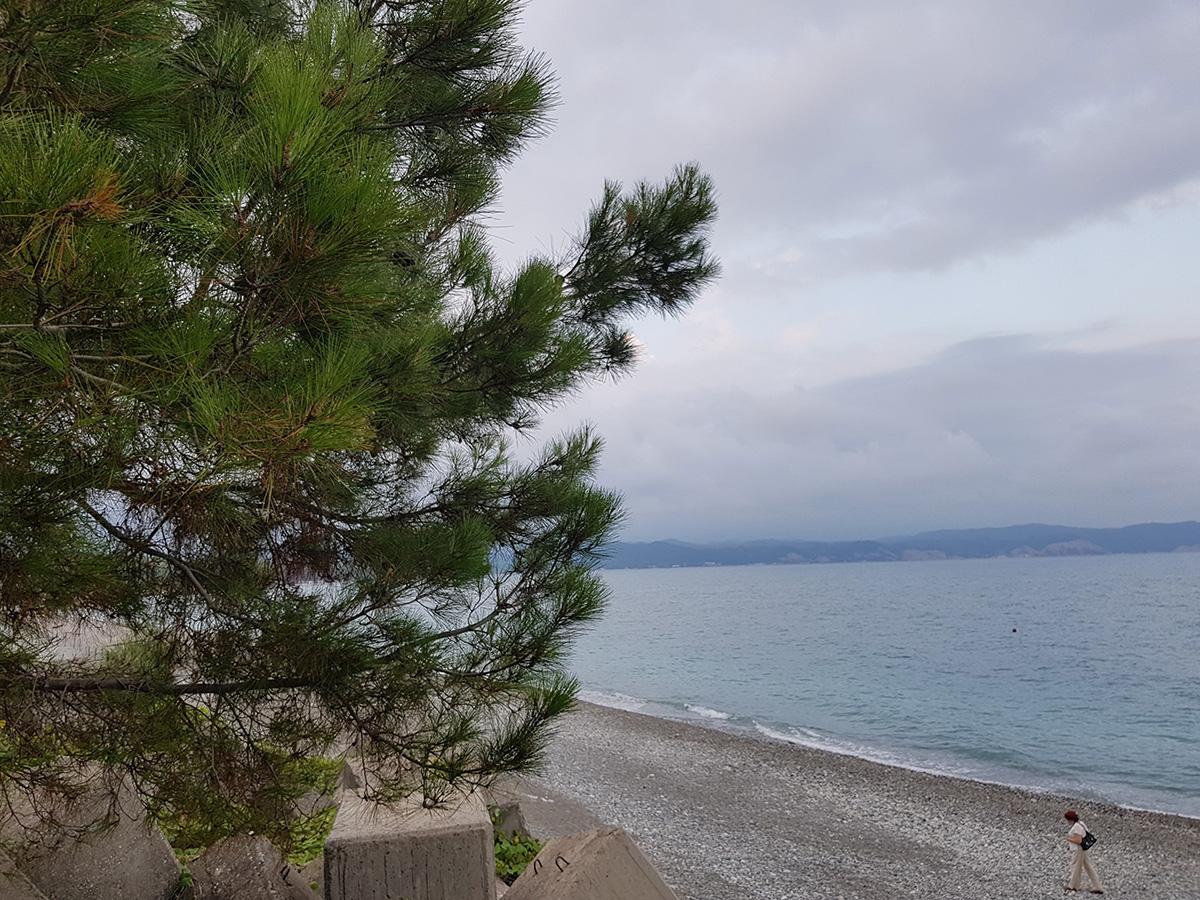 Сосна Судакская возле моря