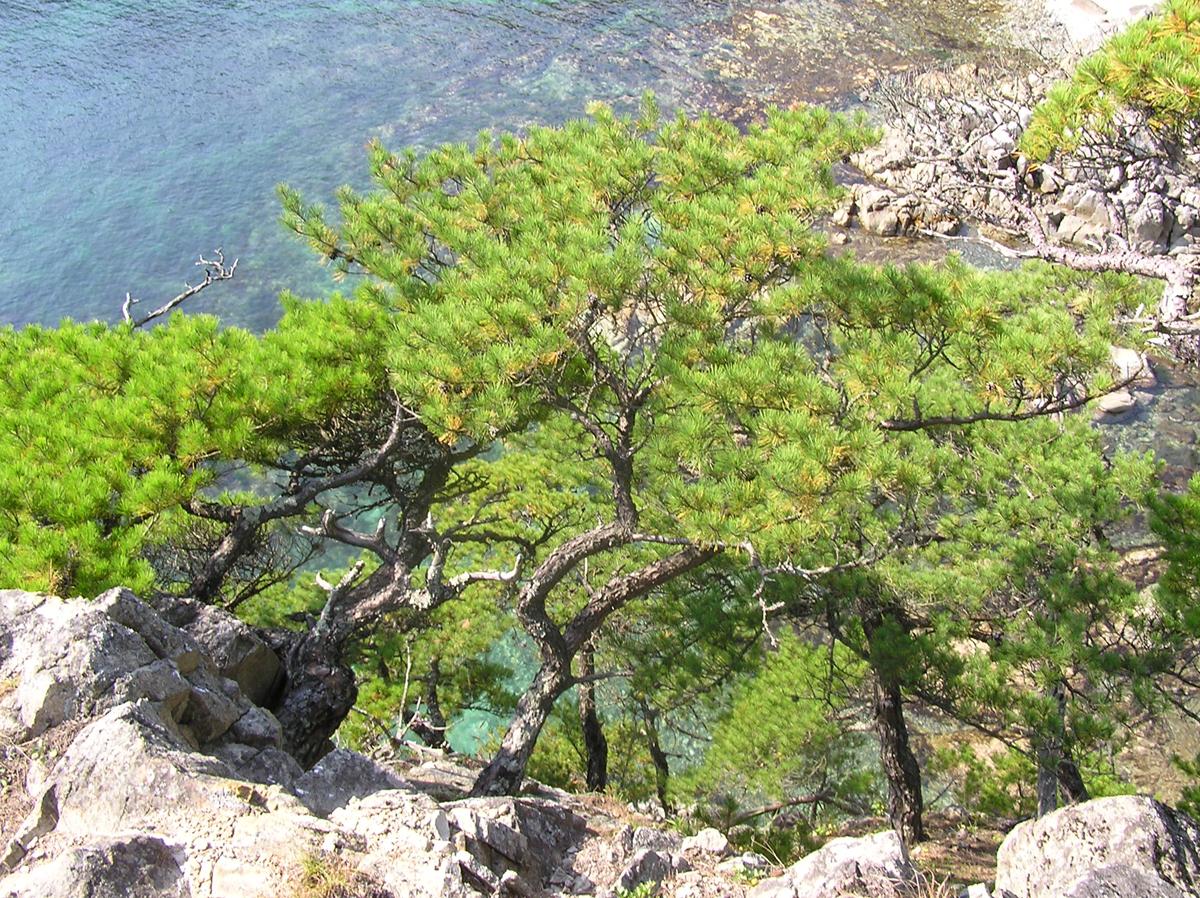Красная японская сосна возле моря