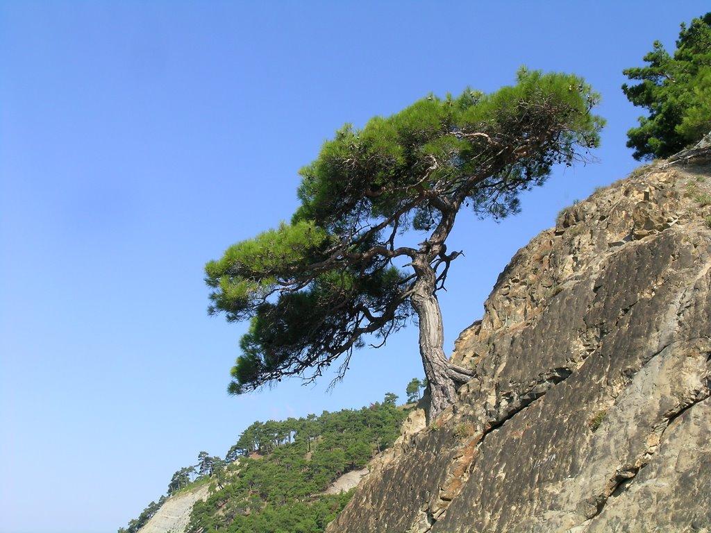 Pinus stankewiczii над обрывом