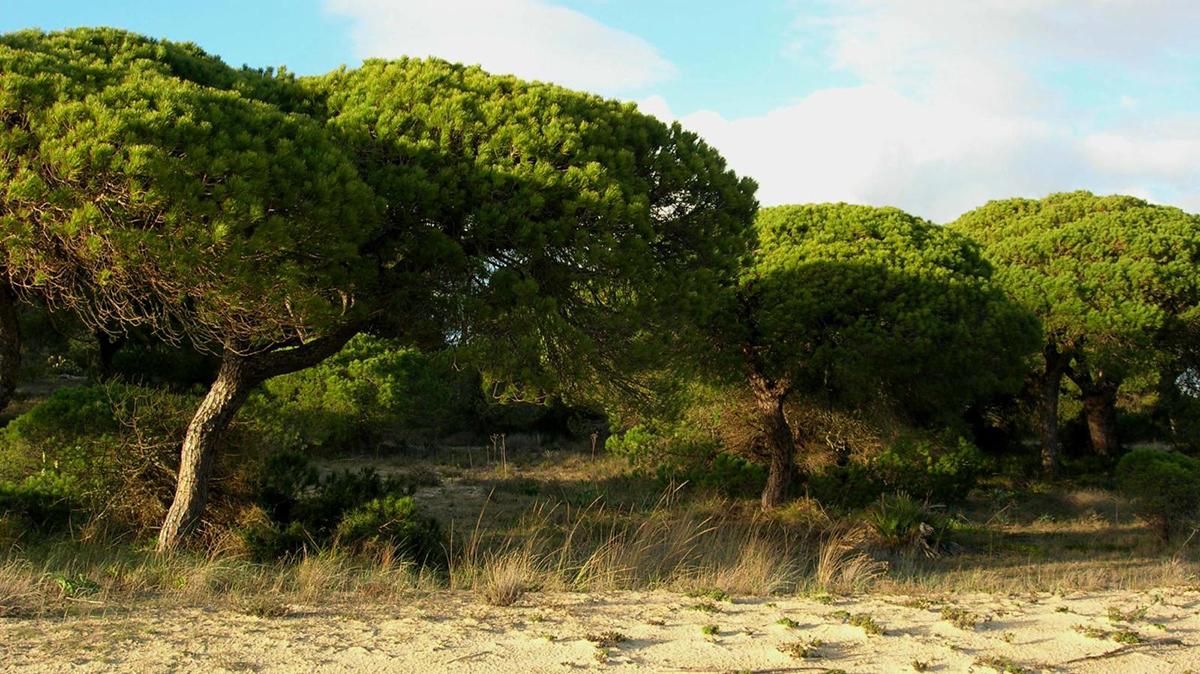 Сосна Pinus pinea