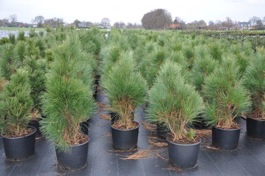 Саженцы Pinus nigra Pyramidalis