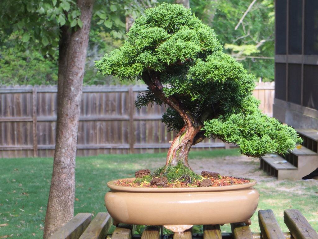 Дерево бонсай в саду