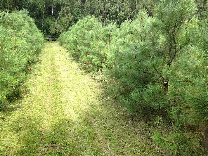 Саженцы Pinus ponderosa