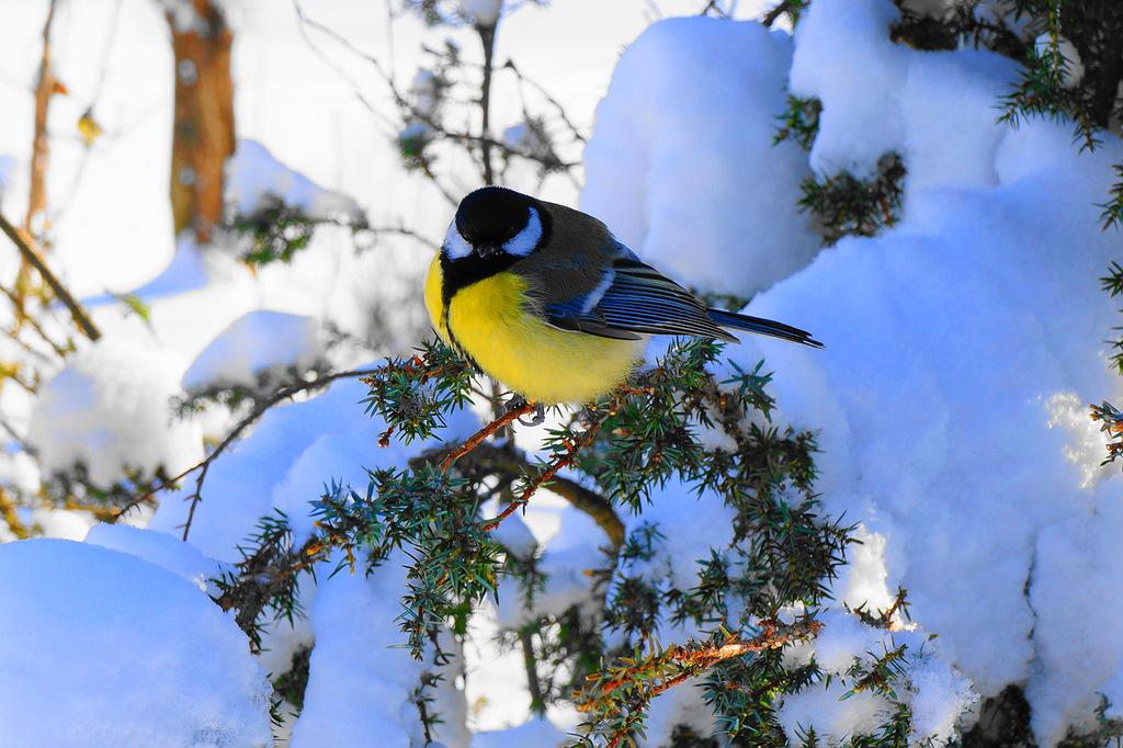 Синица в снегу