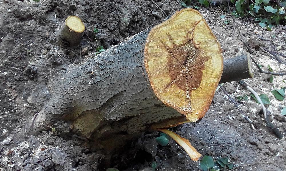 Бурая трещиноватая корневая гниль