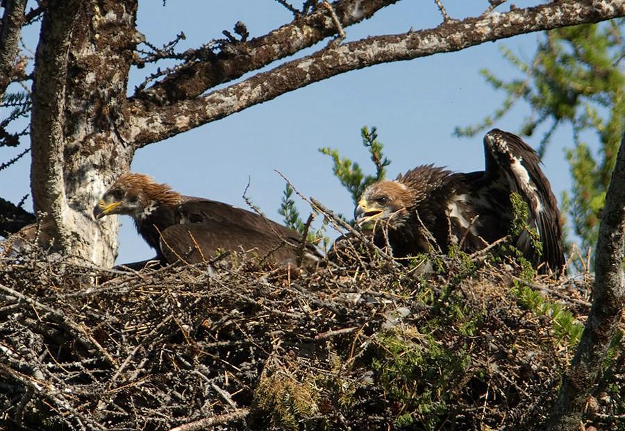 Гнездо Беркута в лесу
