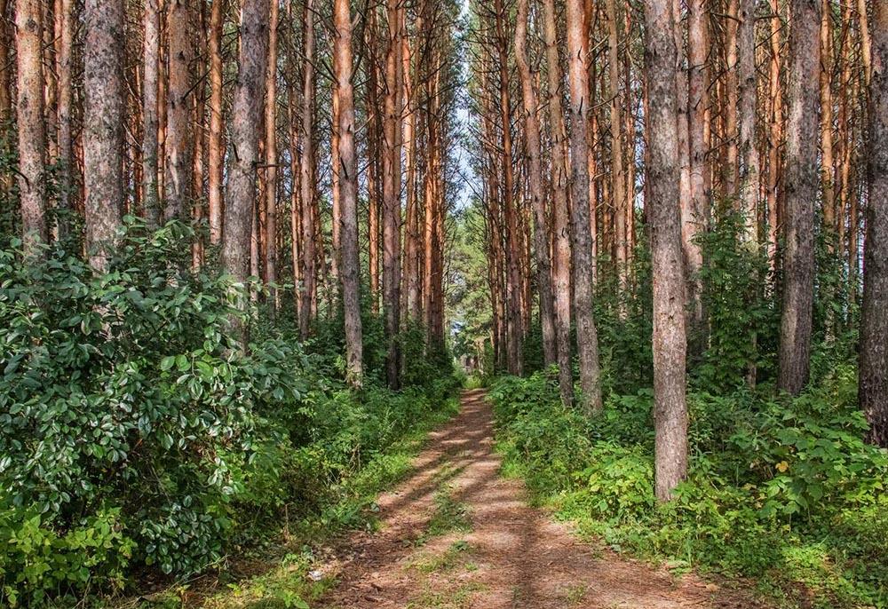 Сложный сосновый лес