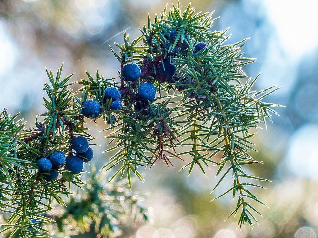 Зрелые ягоды можжевельника