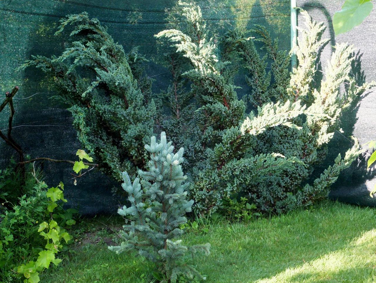 Можжевельник Juniperus squamata