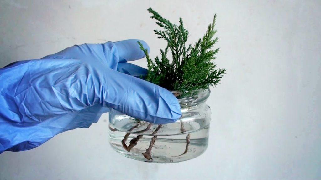 Можжевельник размножение черенками в банке с водой