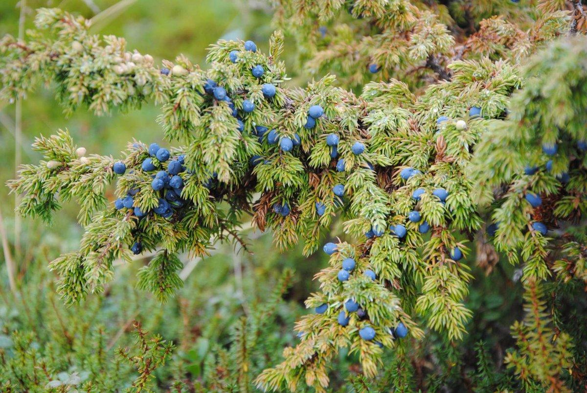 Ветви можжевельника с плодами