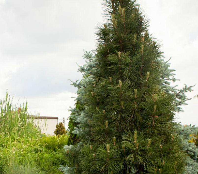Pinus nigra Green Rocket
