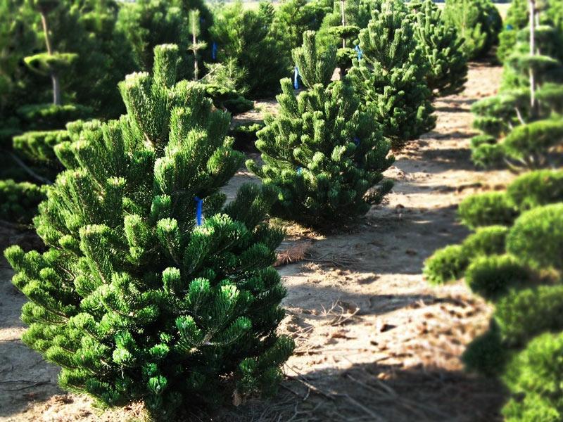 Саженцы Pinus nigra Oregon Green
