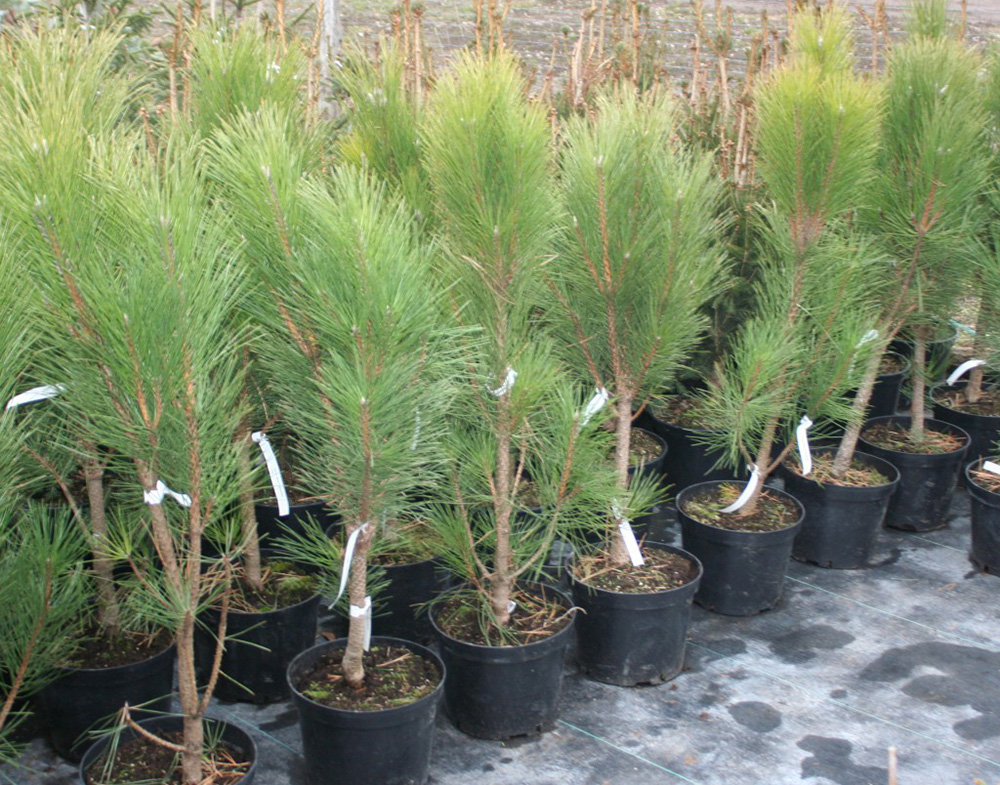 Молодые деревья Грин Рокет