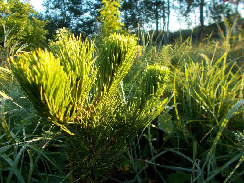 Молодое растение Орегон Грин