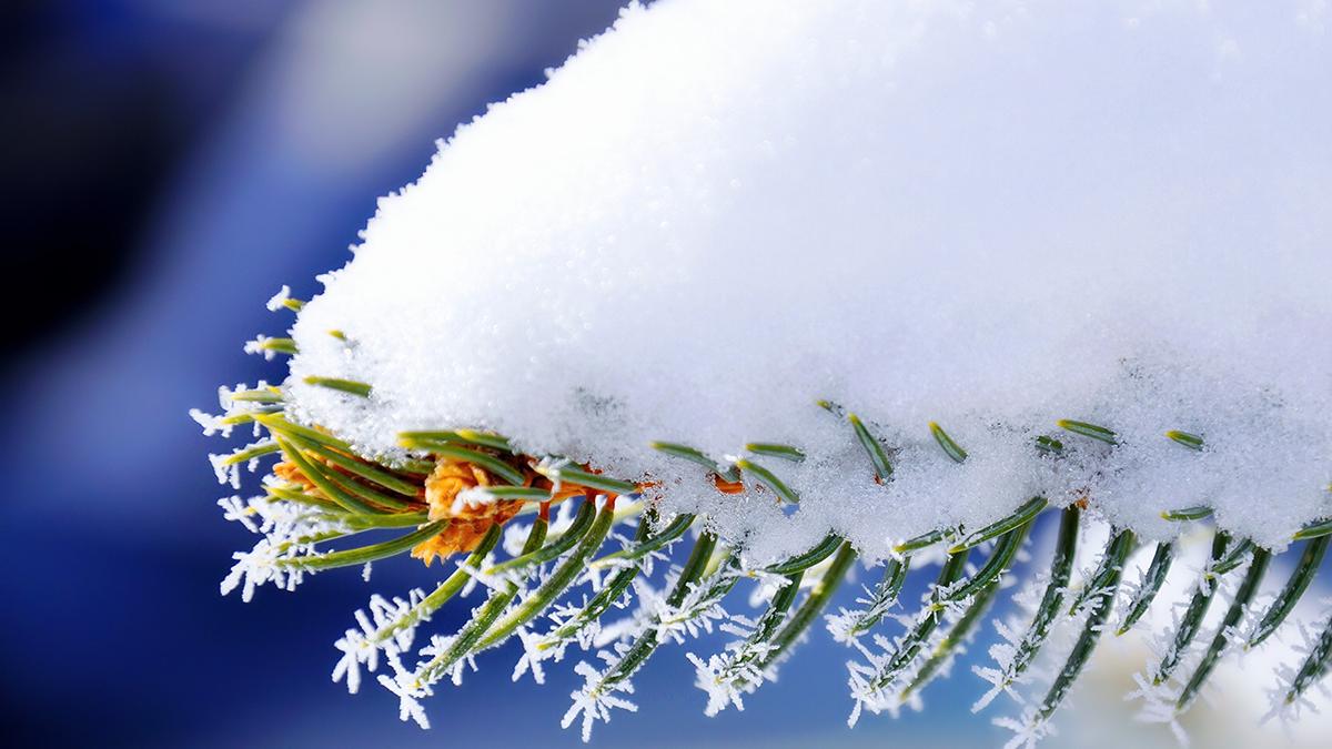 Сосновая ветка под снегом