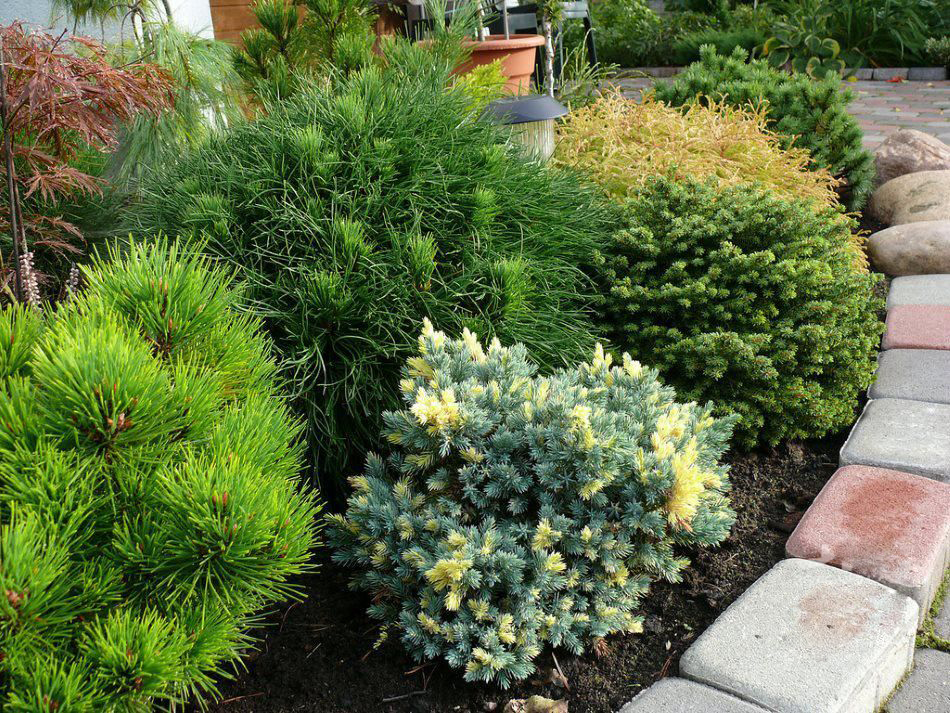 Чешуйчатый можжевельник в саду